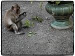 Ein Affe zu Besuch im Königspalast