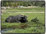 relaxter Büffel